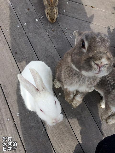 廣島自由行| 大久野島 兔島攻略 去探700隻兔子(交通+遊玩注意事項)