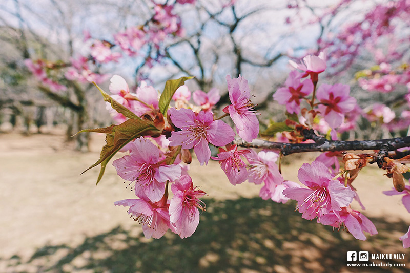 東京賞櫻 代代木公園 河津櫻 2月下旬滿開 原宿站3分鐘路程