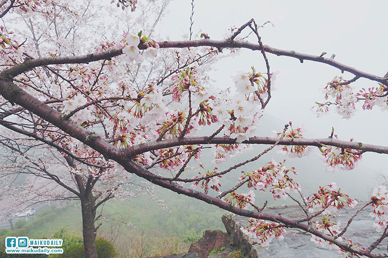 紫雲出山 賞櫻