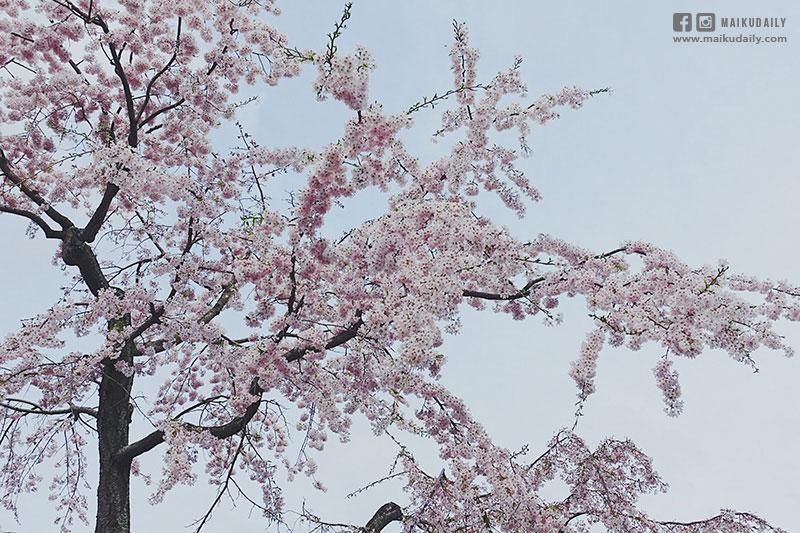 栗林公園賞櫻 香川縣必到景點