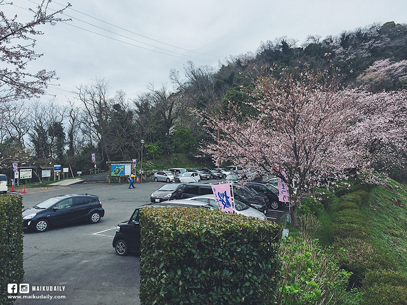 紫雲出山 賞櫻絕景