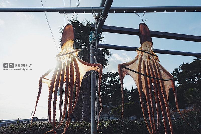 日間賀島 曬八爪魚