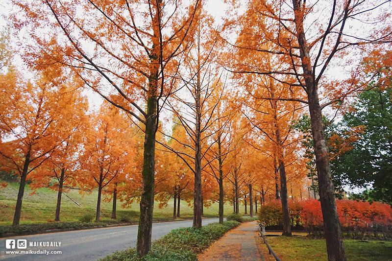 金澤紅葉 太陽丘 水杉並木道 賞楓 秘景