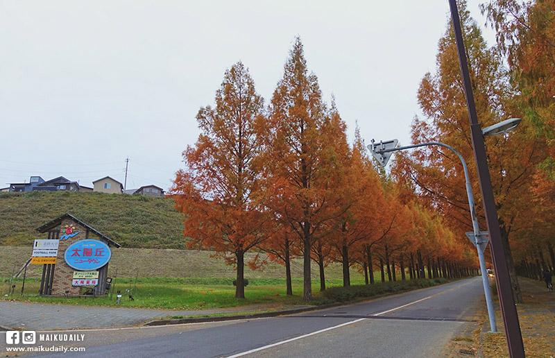金澤紅葉 太陽丘 並木道 賞楓 秘景