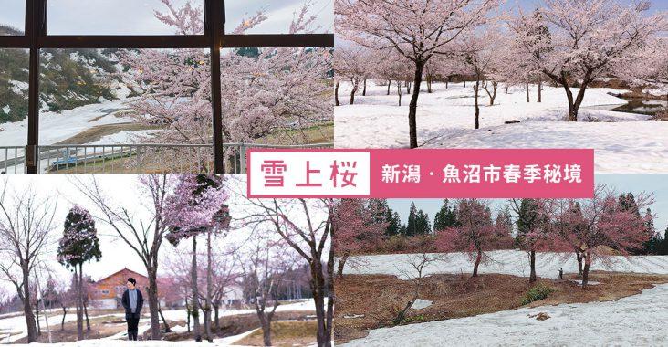 【新潟縣‧魚沼市】你看過雪上櫻嗎?雪國新潟春季秘境