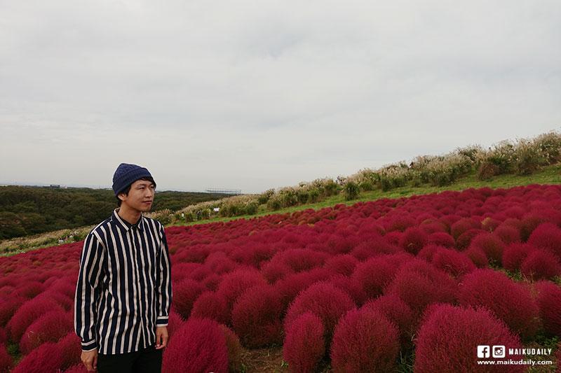 茨城常陸海濱公園 掃帚草 紅色波波草
