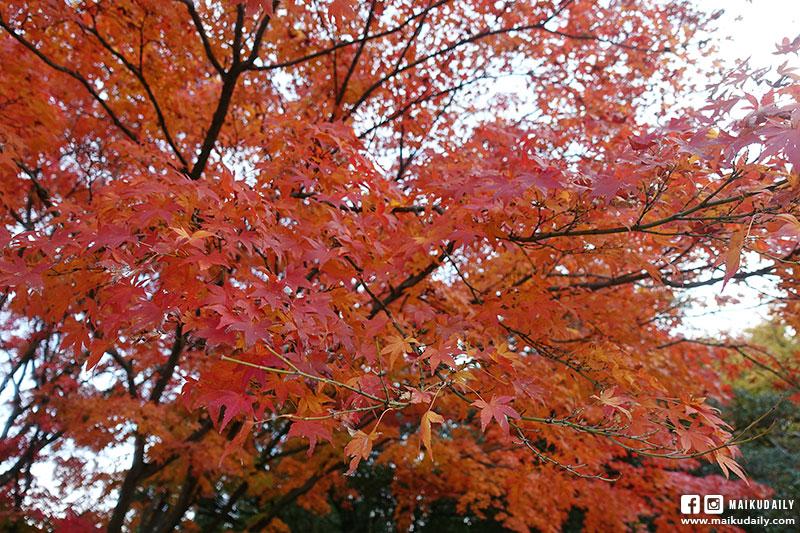 國營昭和紀念公園 紅葉